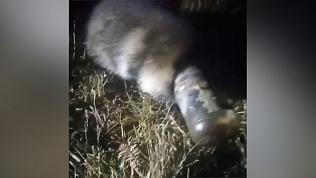 «Не спасается!»: енот застрял головой в пластиковой банке