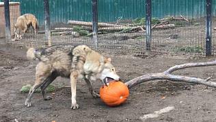 Что скрывает тыква: челябинский зоопарк удивляет животных и посетителей
