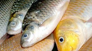 В Челябинскую область завезли более 300 кг рыбы из озера, где обнаружили гаффскую болезнь