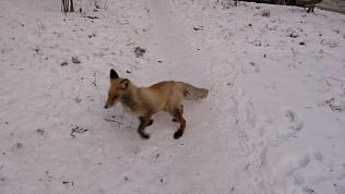 Жителей Озерска встревожила лисица на территории детских яслей
