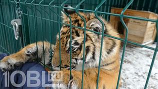 Тигренка Гектора, спасенного Кареном Даллакяном, признали инвалидом