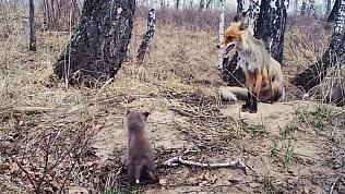 Реалити-шоу из жизни лисицы сняли в национальном парке Зюраткуль