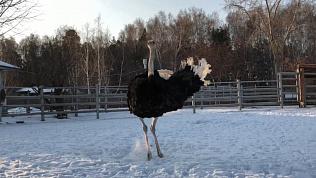 В челябинском зоопарке — танцующий страус!