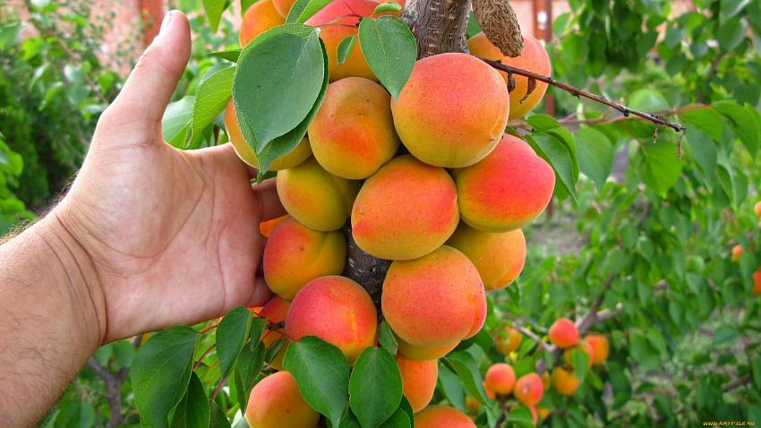 Персик колоновидный: преимущества выбора и грамотный уход