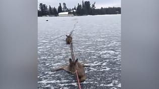 Конькобежец спас оленей с замерзшего озера