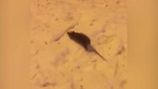 Грызуны в Миассе готовятся к году крысы