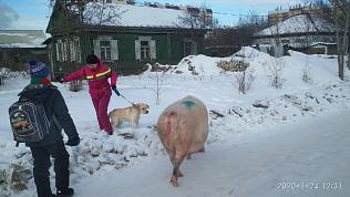 В Челябинске откормленные свиньи вырвались на свободу