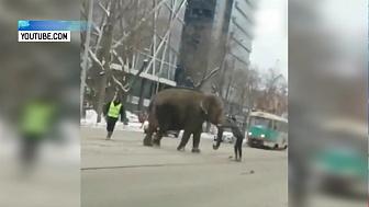 Слоны сбежали из цирка в Екатеринбурге