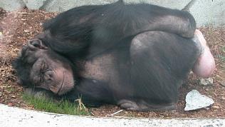 Приматов Челябинского зоопарка закрыли на карантин