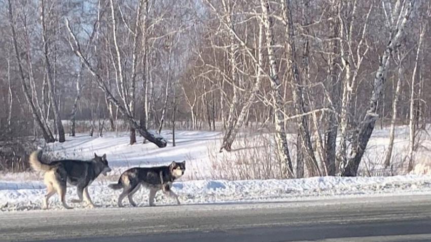 Откуда в Красноармейском районе появились волки, и как вести себя при встрече с хищником