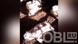 Дворовую собаку подозревают в убийстве скота в Уйском районе