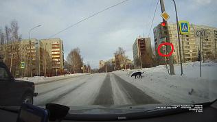 Собака, которая гуляет строго по правилам дорожного движения