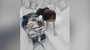 Лосиха Дарена бегает наперегонки со снегоходом