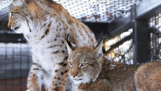 Новая пара рысей сформировалась в Челябинском зоопарке