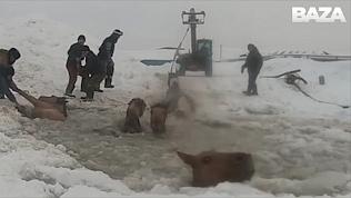 Операция по спасению лошадей из ледяной воды