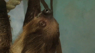 Ленивцы Челябинского зоопарка излучают бодрость и позитив
