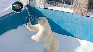 Конструктор для самого сильного: день белого медведя в Челябинске