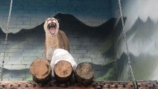 В зоопарке сняли на видео весеннюю песню пумы