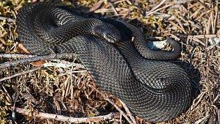 В Челябинской области от укуса змеи скончался мужчина