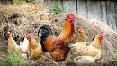 Птицефабрики Челябинской области расширят экспорт с помощью субсидирования