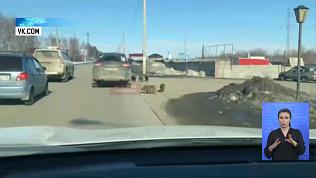В Магнитогорске поросята выбежали на дороге
