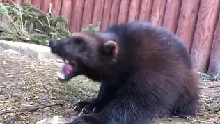 В Челябинском зоопарке росомаха изучает запах и вкус змеиной кожи