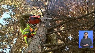 520 деревьев приведут в порядок