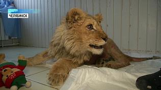 Карен Даллакян спас семимесячного льва