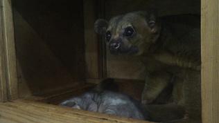 Первое видео малыша кинкажу из Челябинского зоопарка