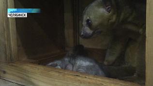 В Челябинском зоопарке родился цветочный мишка