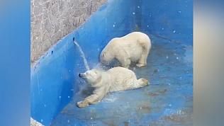 Когда дали воду: белым мишкам наполнили бассейн