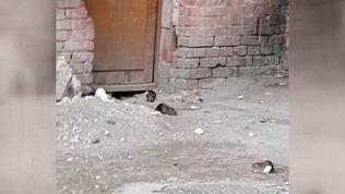 Жительница Миасса жалуется на крыс у дома