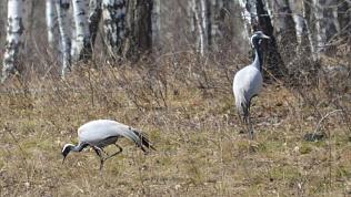 На Южный Урал прилетели журавли