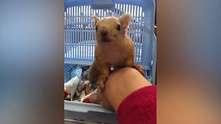 Колыбель для белочки: зоологи сняли на видео спасённого малыша