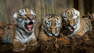 Тигрята редкой породы родились в крымском сафари-парке