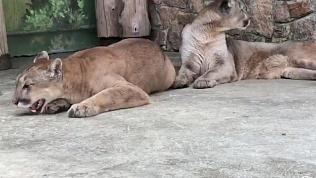 Видео Челябинского зоопарка: пума поёт песни своему самцу