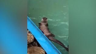 Мокрое видео: выдры в Челябинском зоопарке нырнули в бассейн