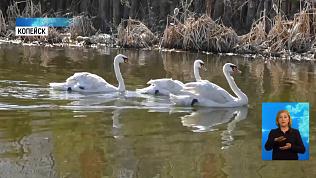 2 пары краснокнижных лебедей выпустили в пруд