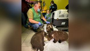 Медвежата, спасенные в Челябинской области, отправятся в Хабаровск