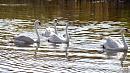 Краснокнижные лебеди вернулись в пруд при храме в Копейске