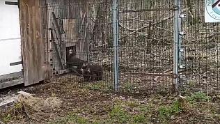 Спасенные Кареном Даллакяном медвежата начали проходить реабилитацию