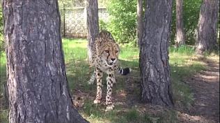 Видео из зоопарка: гепард Афродита соблюдает дистанцию на самоизоляции