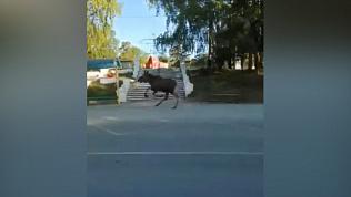 Лось бегает по Озёрску: видео очевидцев