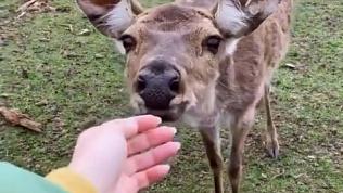 Видео оленей на Зюраткуле появилось в соцсетях