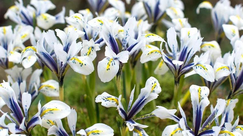 Значение и символика цветов ириса