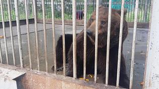 «Люди в ответе за тех, кого приручают»: Алексей Текслер распорядился о помощи брошенному в клетке медведю