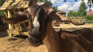 В Челябинском зоопарке родились нубийские козлята: первое видео малышей