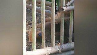 Зоозащитники сняли на видео медведя, которого содержат в ужасных условиях