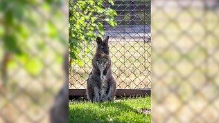Малыш кенгуру родился в Челябинском зоопарке