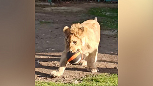 Львёнок Симба стал героем нового видео